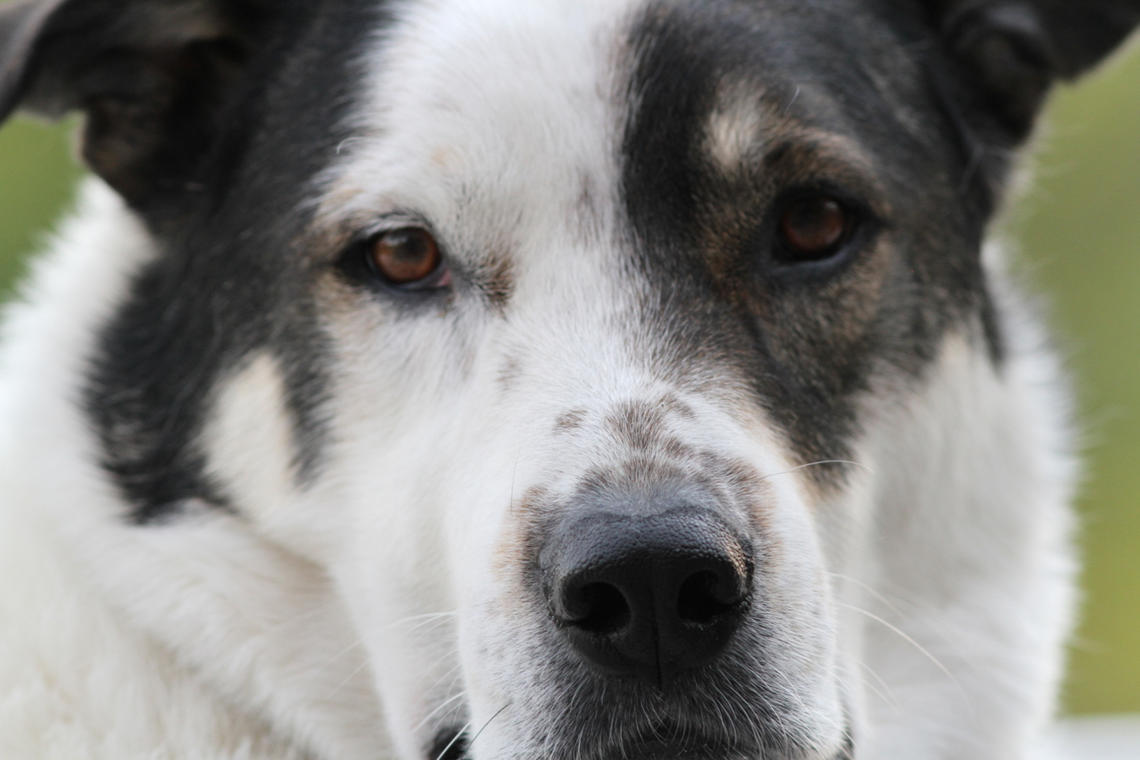 Jack, who is Eloise Carr's rescue dog, joined her family six years ago from the Cochrane Human Society. Carr is a professor in the Faculty of Nursing and the Human-Animal Pain Interaction (HAPI) research team lead with the University of Calgary.