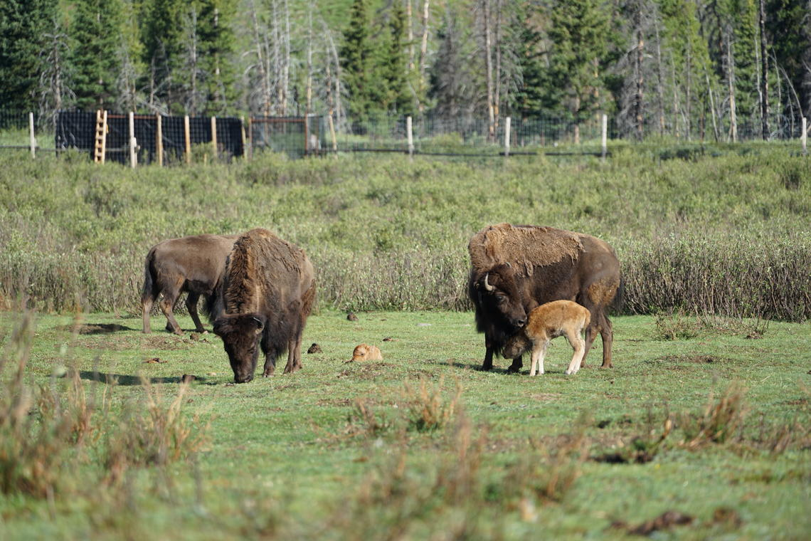 The first cows to give birth to calves in 2018 nuzzle their calves. These calves represent the future of the Banff National Park bison herd.
