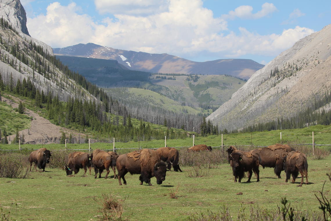 Banff's bison graze within the soft-release pasture located in the Panther Valley.
