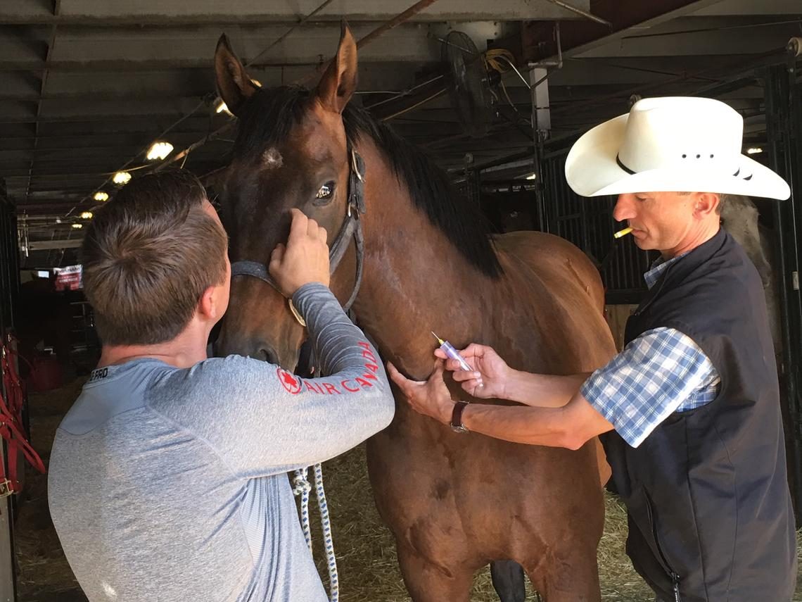 Renaud Léguillette takes a blood sample from Zoe, one of Mark Sutherland's chuckwagon horses.