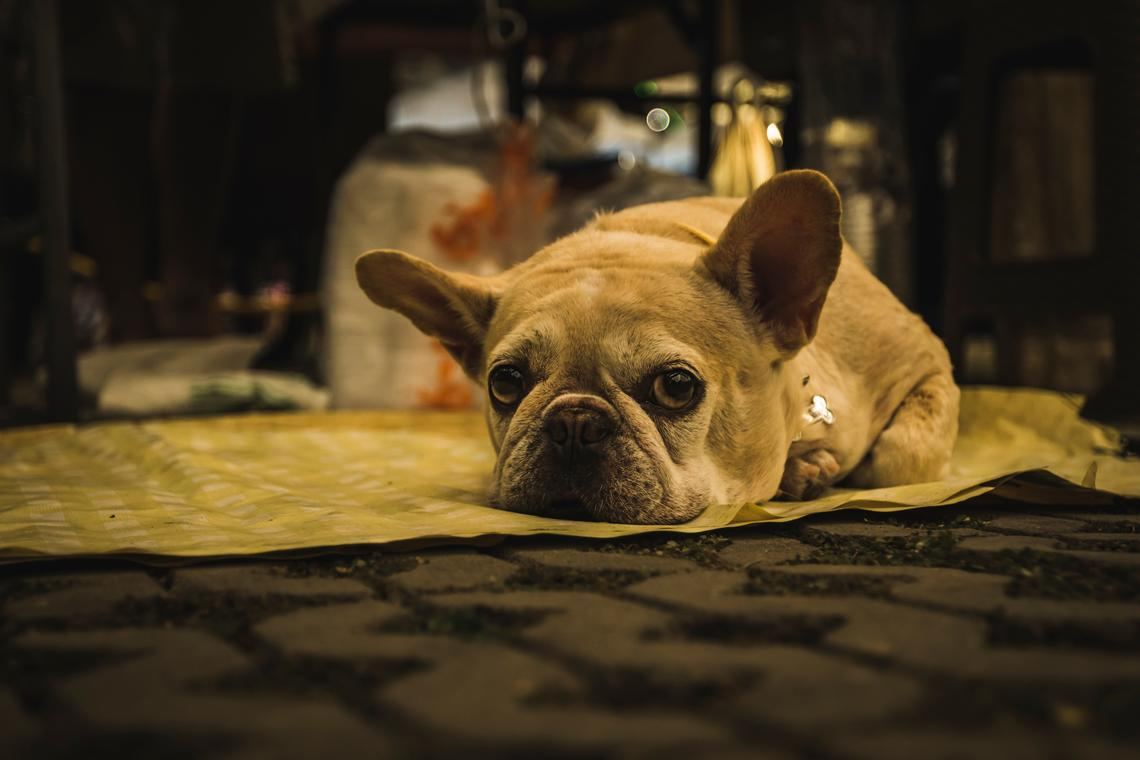 The breathing difficulties faced by pugs and bulldogs can grow worse when exposed to smoke.