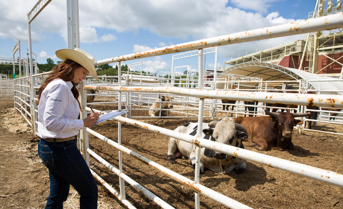 Jennifer Pearson tracked a daily time budget for each bucking bull at last year's Stampede to see how the animals spent their days.