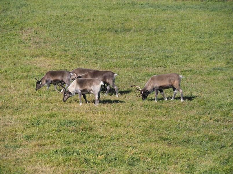 The Faculty of Veterinary Medicine's herd of reindeer grazing at the Clinical Skills Building at the UCalgary Spy Hill campus.