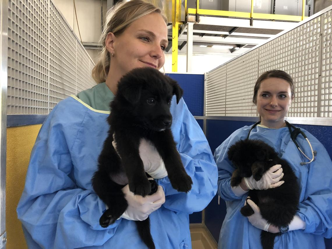 UCVM fourth year students look after some furry friends at the AARCS clinic.