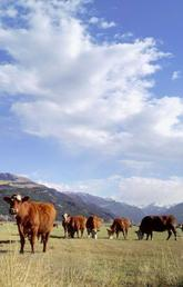 Home on the range: cows share pastures with parasitic roundworms that affect calf growth, costing the North American cattle industry $2-billion in lost production.