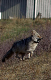 UCalgary research shows local emergence of a human disease caused by parasites in coyotes and foxes