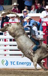 A day in the life of a Calgary Stampede bucking bull