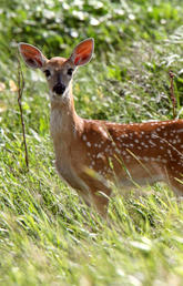 Chronic wasting disease (CWD), an infectious neurological disease that kills deer, is spreading rapidly in Alberta. Colourbox photo