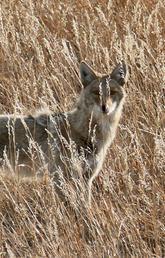 Coyote fall dispersal season