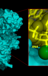 Model COVID-19 polymerase enzyme bound to RNA & proposed inhibitor inspired by models of Remdesivir.