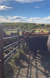 As part of the study, calves at W.A. Ranches were gradually weaned and separated from their mothers using a fence line separation method where the animals can still see and hear each other.