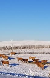 Alberta beef cattle operation in winter