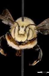 Leafcutter Bee (Megachile dentitarsus)