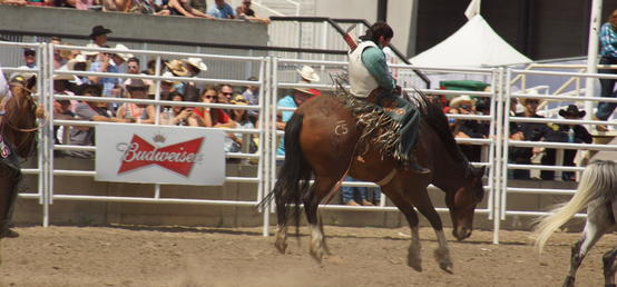UCalgary researchers publish first study on welfare of bucking horses at Calgary Stampede